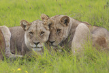 African Lions 014 Photographic Print by Bob Langrish