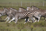 African Zebras 059 Photographic Print by Bob Langrish