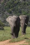 African Elephants 015 Photographic Print by Bob Langrish