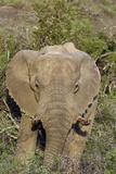 African Elephants 008 Photographic Print by Bob Langrish