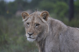 African Lions 022 Photographic Print by Bob Langrish