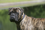 Bull Mastiff 12 Photographic Print by Bob Langrish