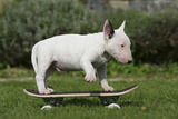 Bull Terrier 22 Photographic Print by Bob Langrish
