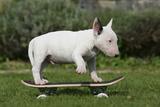 Bull Terrier 22 Stampa fotografica di Bob Langrish