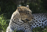 South African Leopard 001 Photographic Print by Bob Langrish