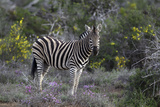 African Zebras 008 Photographic Print by Bob Langrish