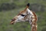 African Giraffes 003 Photographic Print by Bob Langrish