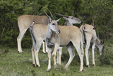 African Eland 10 Photographic Print by Bob Langrish