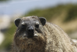 South African Dassie Rat 016 Photographic Print by Bob Langrish