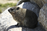 South African Dassie Rat 008 Photographic Print by Bob Langrish
