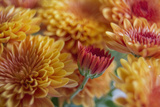Flaming Fall Mums Photographic Print by Bob Rouse