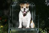 French Bulldog 43 Photographic Print by Bob Langrish