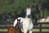 Hennessy Arabians 013 Photographic Print by Bob Langrish