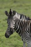 African Zebras 073 Photographic Print by Bob Langrish