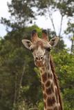 African Giraffes 028 Photographic Print by Bob Langrish