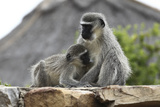 South African Vervet Monkey 005 Photographic Print by Bob Langrish