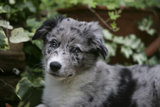 Border Collie 51 Photographic Print by Bob Langrish