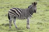 African Zebras 104 Photographic Print by Bob Langrish