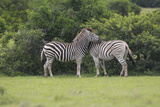 African Zebras 023 Photographic Print by Bob Langrish