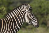 African Zebras 091 Photographic Print by Bob Langrish