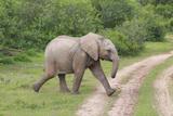 African Elephants 032 Photographic Print by Bob Langrish