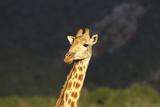 African Giraffes 016 Photographic Print by Bob Langrish