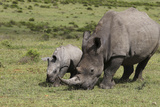 South African White Rhinoceros 016 Photographic Print by Bob Langrish