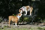 French Bulldog 47 Photographic Print by Bob Langrish