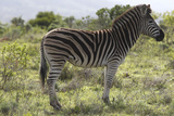 African Zebras 113 Photographic Print by Bob Langrish