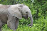 African Elephants 033 Photographic Print by Bob Langrish