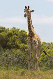 African Giraffes 026 Photographic Print by Bob Langrish
