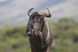 African Wildebeest 01 Photographic Print by Bob Langrish