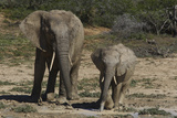 African Elephants 086 Photographic Print by Bob Langrish