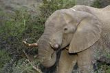 African Elephants 007 Photographic Print by Bob Langrish