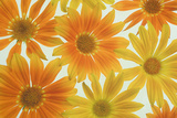 Orange Daisies Photographic Print by Cora Niele