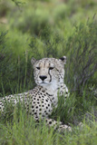 African Cheetah 014 Photographic Print by Bob Langrish
