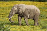 African Elephants 062 Photographic Print by Bob Langrish
