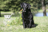 Black Labrador Retriever 13 Photographic Print by Bob Langrish