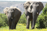African Elephants 072 Photographic Print by Bob Langrish