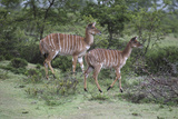 African Nyala 07 Photographic Print by Bob Langrish