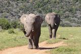 African Elephants 064 Photographic Print by Bob Langrish