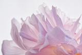 Pink Peony Petals VI Photographic Print by Cora Niele