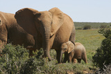 African Elephants 182 Photographic Print by Bob Langrish