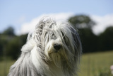 Bearded Collie 16 Photographic Print by Bob Langrish