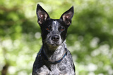 Australian Heeler 06 Photographic Print by Bob Langrish