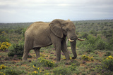 African Elephants 197 Photographic Print by Bob Langrish