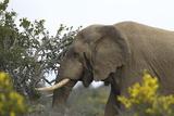 African Elephants 004 Photographic Print by Bob Langrish