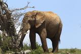 African Elephants 045 Photographic Print by Bob Langrish