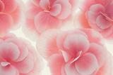 Rose Begonia Flowers Fotografisk tryk af Cora Niele
