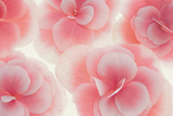 Rose Begonia Flowers Photographic Print by Cora Niele